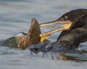 Biguá se alimentando de um cascudo no rio tietê
