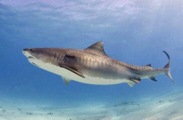 Menstruação atrai tubarão