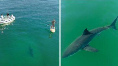 Tubarão-branco e remadora de sup