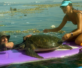 tartaruga marinha salva por remadores