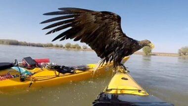 Remadores águias